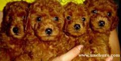 昆明卖泰迪昆明狗场长期出售纯种泰迪